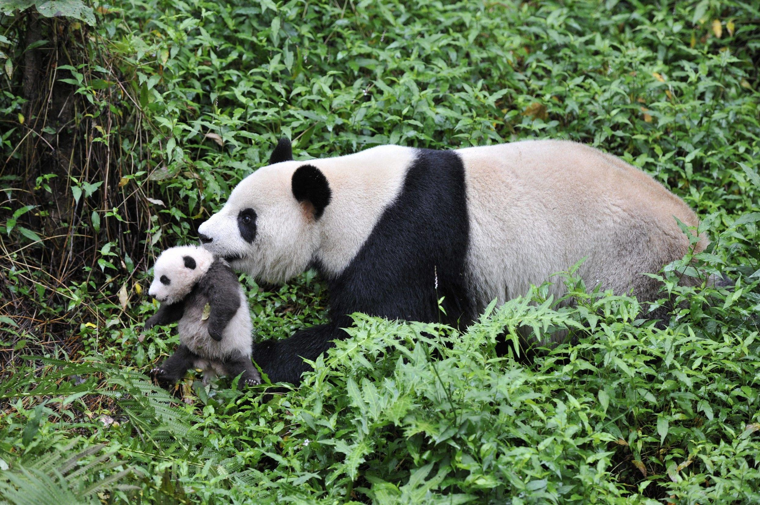 Image - There are about 1,600 left in the wild. More than 300 pandas live in zoos and breeding centers around the wor...